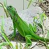 Curious chameleon puzzle